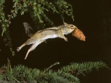 Прыгающий бурундук с шишкой кедрового стланика
